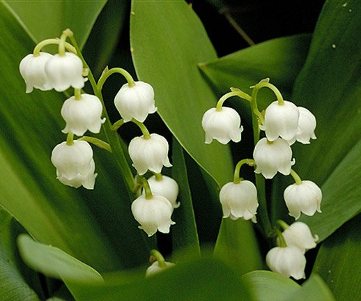 Lily of Valley