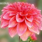 #2 Pink Dahlia Cross Stitch Pattern Flowers ETP