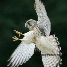 Gyr Falcon Tumble Cross Stitch Pattern Birds Hawks ETP