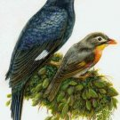 Mynah bird & Robin Cross Stitch Pattern ETP