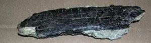 Camarasaurus vertebra wing