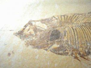 Knightia fish