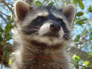 Raccoon Babby bandit racoon Art Print closed face Portrait photography