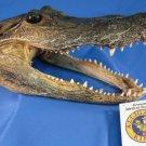 "Alligator Head 5-6"" Genuine Real Gator American Taxidermy Reptile FREE SHIPPING"