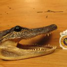 "Alligator Head 6-7"" Genuine Real Gator American Taxidermy Reptile FREE SHIPPING"