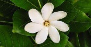 Pikake (Hawaiian Jasmine) Perfume Oil