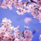 Cherry Blossom Scented Hand Sanitizer