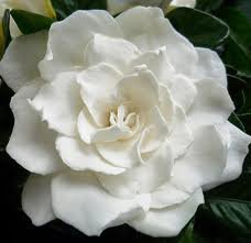 White Gardenia Scented Hand Sanitizer