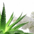 Aloe & White Lilac Scented Kona Coffee Exfoliating Face Scrub