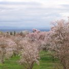 Almond Blossom Orchard Photo Print 8 x 10 glossy new
