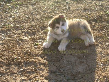 Wolf Pup 8 x 10 photo print new