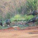 5 Turkey Gobblers 2494