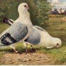 2 Beautiful German Birds Vintage Grtg. Postcard VP-5388
