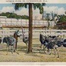 Ostrich Farm So. Jacksonville, FL. Postcard VP-5979