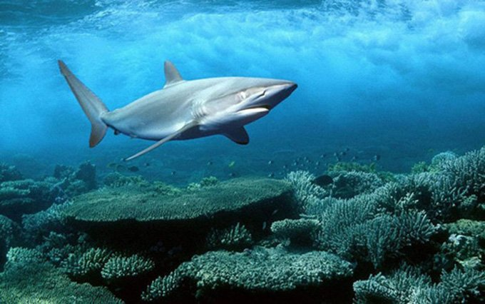 Shark On The ProwL Cross Stitch Pattern***L@@K***