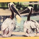 NEW YORK ZOOLOGICAL PARK BROWN PELICANS New York City Postcard