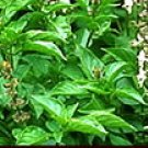 2,400 seeds Thai Holy Basil - Herb Seeds/ Vegetable Seeds w S&H Free