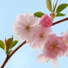 1 oz Japanese Cherry Blossom Fragrance Oil