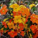 Streptosolen jamesonii 4 Unrooted Cuttings ORANGE MARMALADE Fire Bush V RARE