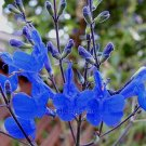 Salvia sagittata 4 Unrooted Cuttings BLUE ARROW LEAF SAGE GORGEOUS Z8