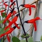 Salvia gesneraeflora 'Tequila' 4 Unrooted Cuttings RED-BLACK BIG MEXICAN SAGE RARE Z9