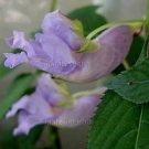 Impatiens arguta Trailing Blue Dreams 4 Unrooted Cuttings V RARE Himalayan JEWELWEED