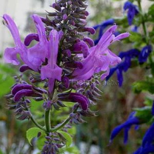 Salvia purpurea 4 Unrooted Cuttings AUTUMN INTO WINTER CLOUD FOREST SAGE Z9