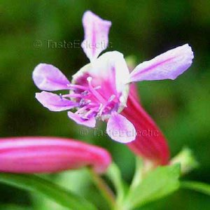 Cuphea 'Pink Bunny' 4 Unrooted Cuttings CUTE WHIMSICAL Hummingbirds Magnet