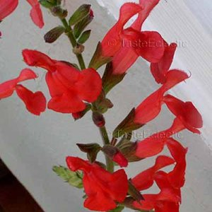 Salvia darcyi x microphylla SILKE'S DREAM 4 Unrooted Cuttings SAGE Hard-To-Find RARE Z8