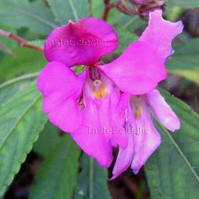 Impatiens latiflora 3 Unrooted Cuttings V RARE INDIAN ANGEL Jewelweed