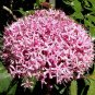 Clerodendrum bungei 4 Unrooted Cuttings ROSE GLORY BOWER Mexican Hydrangea Z7