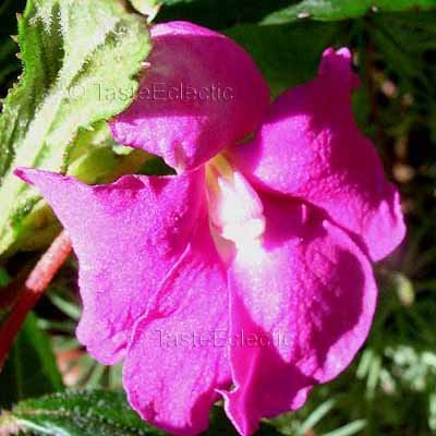 Impatiens irvingii 3 Unrooted Cuttings V RARE Central Africa Hot Pink