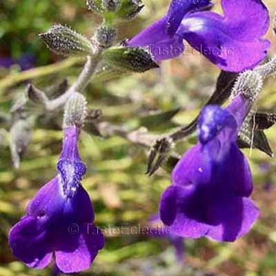 Salvia coahuilensis 4 Unrooted Cuttings ~ INDIGO AUTUMN SALTILLO SAGE HARD2FIND