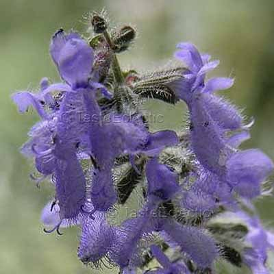 Salvia jurisicii 3.5 inch Pot Plant UnUsual FEATHER SAGE Z6