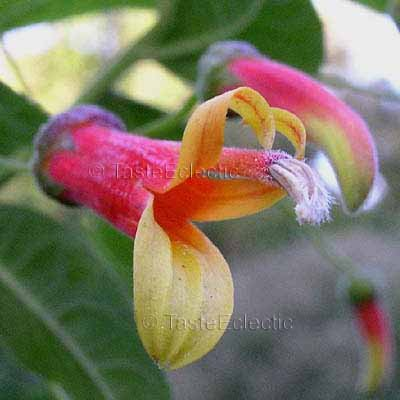 Lobelia mexicana 3.5 inch Pot Plant V RARE Festive Mexican CARDINAL FLOWER TREE Hummingbird