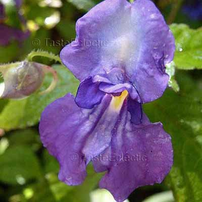Impatiens puberula 3 Unrooted Cuttings V RARE PURPLE TUBEROUS Indian Jewelweed Balsam HARDY Z7