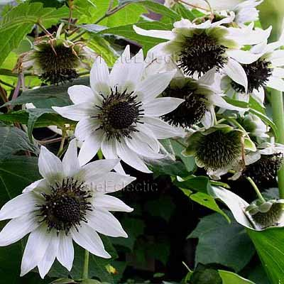 Rojasianthe superba 3.5 inch Pot Plant WHITE TREE SUNFLOWER V RARE