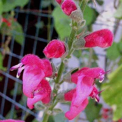 Salvia westerae 4 inch Pot Plant V RARE BOLIVIAN SAGE orbignaei x haenkei
