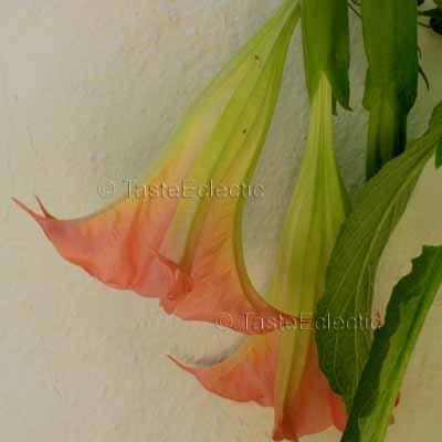 Brugmansia sp 'Pink' 4 inch Pot Plant FRAGRANT Angel Trumpet Tree