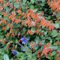 Cuphea cyanea Strybing Peach Caribbean Sunset 3.5 inch Pot Plant EZ HUMMINGBIRDS