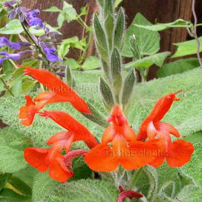 Salvia squalens 3 inch Pot Plant RARE PERU RED SAGE Z9