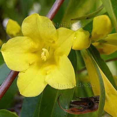Gelsemium sempervirens 4 inch Pot Plant YELLOW CAROLINA WINTER JASMINE JESSAMINE VINE