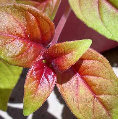 """Fuchsia 'Autumnale' 3 inch Pot Plant RED GOLD """"Variegated"""" Hard-To-Find TRAILING"""