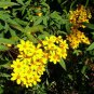 Tagetes nelsonii 3 Unrooted Cuttings CITRUS Mayan BUSH MARIGOLD Fragrant Cloud Forest V RARE