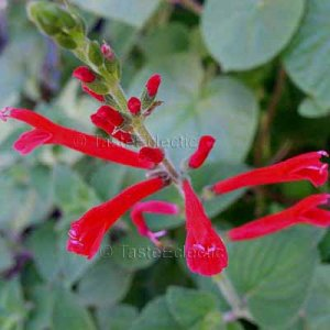 Salvia elegans HONEY MELON 3 inch Pot Plant Herb DWARF PINEAPPLE SAGE HARD2FIND