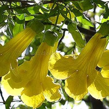 Macfadyena unguis-cati 4 Unrooted Cuttings YELLOW TRUMPET CAT'S CLAW VINE