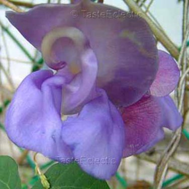 Phaseolus giganteus/Vigna caracalla 4 Unrooted Cuttings PURPLE GIANT SNAIL VINE Hard-To-Find