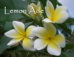 Rare & Exotic Very Fragrant *Lemon Ade*  Plumeria Frangipani cutting