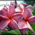 SALE Very Rare & Exotic Thai *Purple Star* Plumeria Frangipani cutting + Bonus