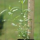 Heimia Salicifolia Sinicuichi Sun Opener live plant